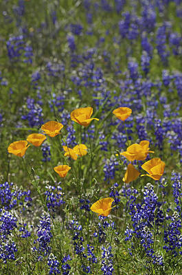 California Poppies And Lupine Poster by Sherri Meyer