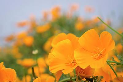 California Poppies, Montana De Oro Poster