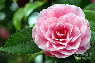 Camellia Flower Camellia Japonica Poster by Dr. Keith Wheeler