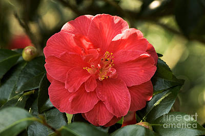 Camellia Japonica Mercury Poster by Adrian Thomas