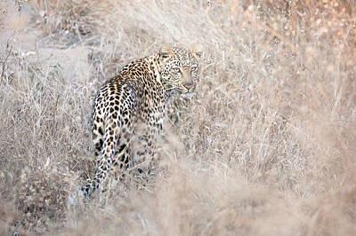 Camouflaged Leopard Poster by Christa Niederer