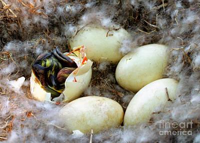 Canada Goose Eggs Poster by Millard H. Sharp