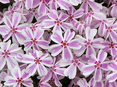 Candy Stripe Phlox Poster by Michele Penner