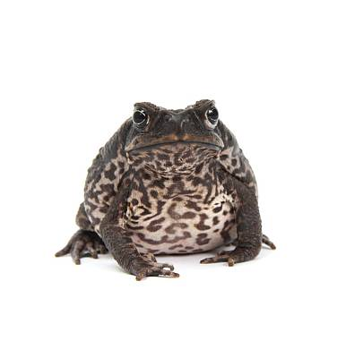Cane Toad Poster by Science Photo Library