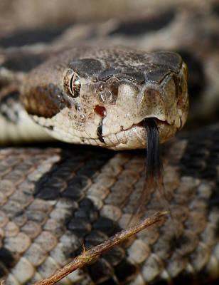 Canebrake Rattlesnake Poster