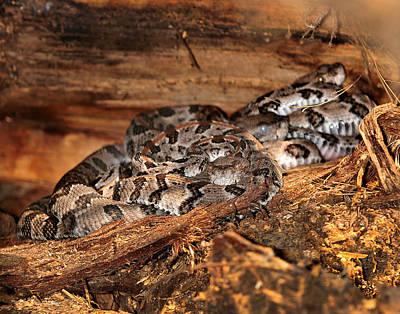 Canebrake Rattlesnakes Poster