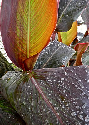 Canna Lily I  Poster by Kirsten Giving