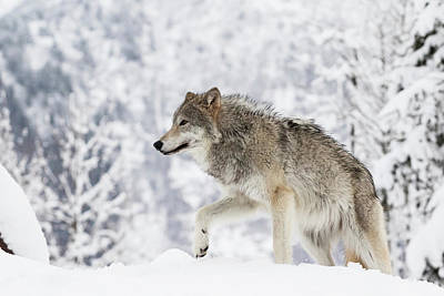 Captive  Female Tundra Wolf In Snow Poster by Doug Lindstrand
