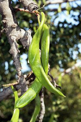 Carob Tree (ceratonia Siliqua) In Fruit Poster