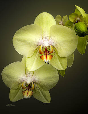 Cascade Of Yellow Orchids Poster by Julie Palencia