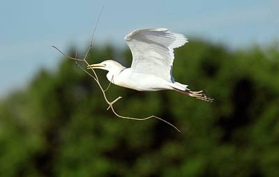 Cattle Egret In Flight Poster by Bob Gibbons