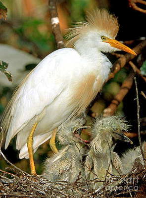 Cattle Egret Poster by Millard H. Sharp