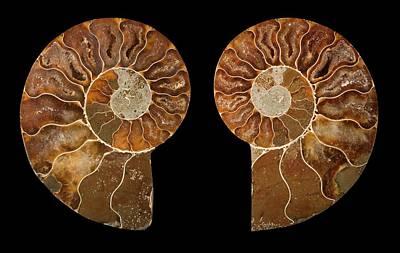 Ceratites Ammonite Fossil Poster
