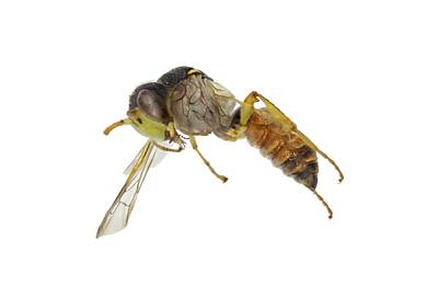 Cerceris Flaviventris Wasp Poster by F. Martinez Clavel