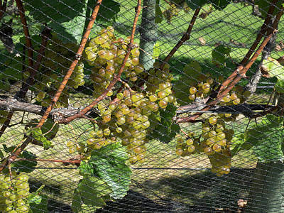 Chardonnay Grapes On Vine Poster