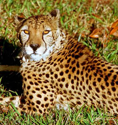 Cheetah Acinonyx Jubatus Poster by Millard H. Sharp