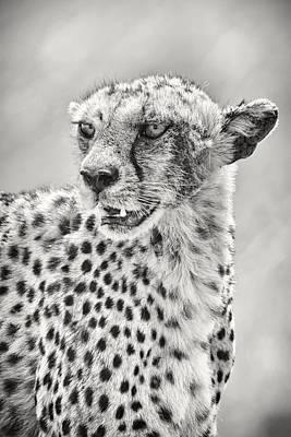 Cheetah Poster by Adam Romanowicz
