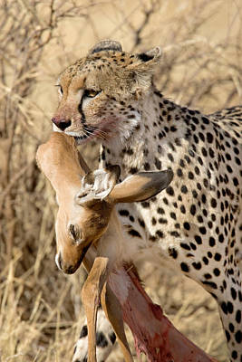 Cheetahs Acinonyx Jubatus And Prey Poster by Panoramic Images
