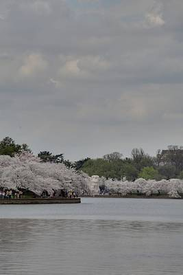 Cherry Blossoms - Washington Dc - 011335 Poster by DC Photographer