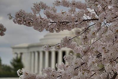 Cherry Blossoms With Jefferson Memorial - Washington Dc - 01134 Poster