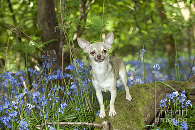 Chihuahua In Bluebells Poster by John Daniels