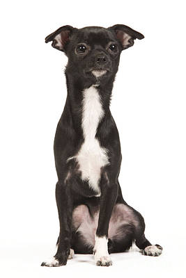 Chihuahua Puppy Dog Poster by Jean-Michel Labat