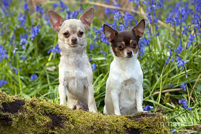 Chihuahuas In Bluebells Poster by John Daniels