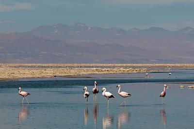 Chilean Flamingo, (phoenicopterus Poster