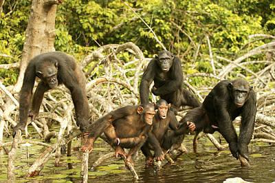 Chimpanzees On Mangroves Poster by Jean-Michel Labat