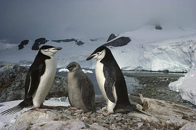Chinstrap Penguins With Chick Paradise Poster by Tui De Roy