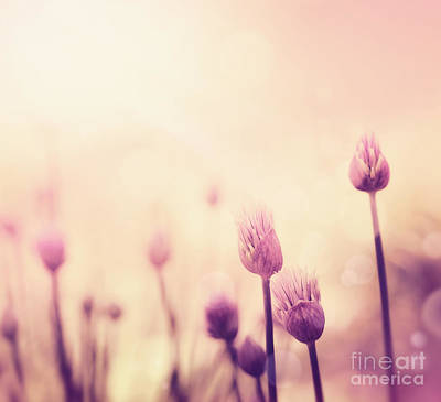 Chives Flowers Poster by Mythja  Photography