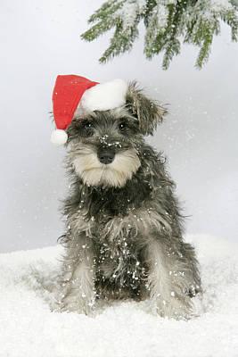 Christmas Schnauzer Poster by John Daniels
