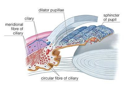 Ciliary Musculature Of Eye Poster