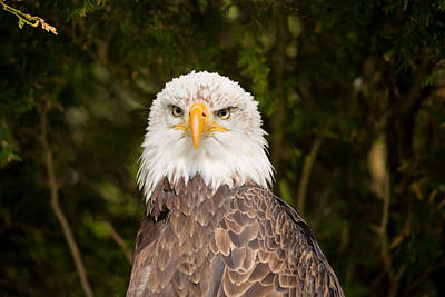 Close-up Of A Bald Eagle Haliaeetus Poster by Panoramic Images
