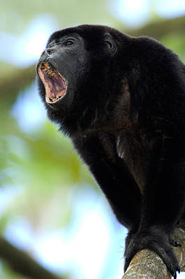 Close-up Of A Black Howler Monkey Poster
