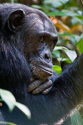 Close-up Of A Chimpanzee Pan Poster by Panoramic Images