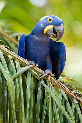 Close-up Of A Hyacinth Macaw Poster by Panoramic Images