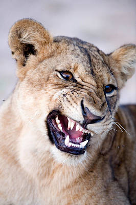Close-up Of A Lioness Panthera Leo Poster by Panoramic Images