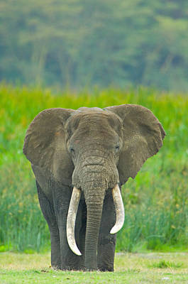 Close-up Of An African Elephant Poster