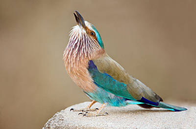 Close-up Of An Indian Roller Coracias Poster by Panoramic Images