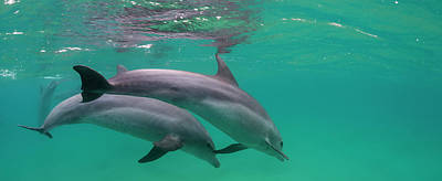 Close-up Of Two Bottle-nosed Dolphins Poster by Panoramic Images