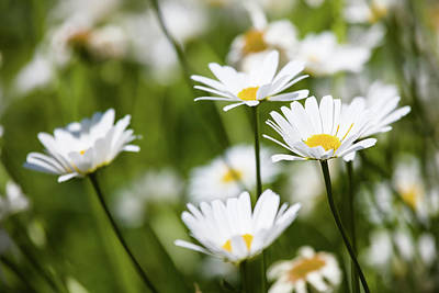 Close-up Of White Daisy Flowers Poster