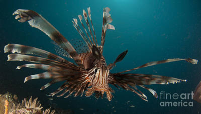 Close-up View Of A Lionfish. Gorontalo Poster by Steve Jones