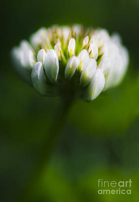 Clover Flower Macro Poster by Jorgo Photography - Wall Art Gallery