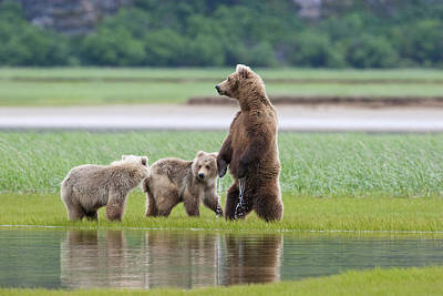 Coastal Brown Bear Sow With Her Two Poster by Kent Fredriksson