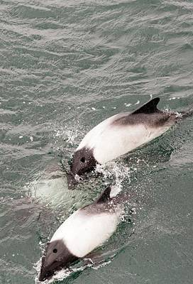 Commerson's Dolphin Poster by Ashley Cooper