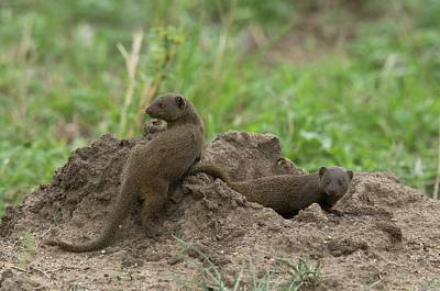 Common Dwarf Mongoose Playing Poster