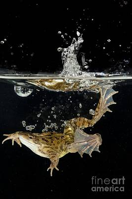 Common Frog Landing In Water Poster by Simon Booth