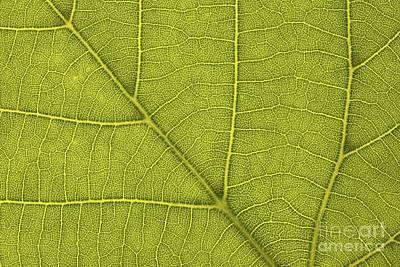 Common Lime Leaf Tilia X Europaea Poster by Bjorn Svensson