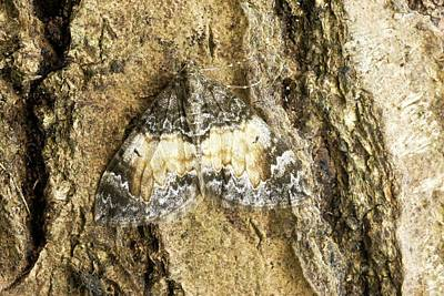 Common Marbled Carpet Moth Poster by David Aubrey